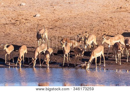 A Group Of Impalas -aepyceros Melampus- Drinking From A Waterhole In Etosha National Park, Namibia.