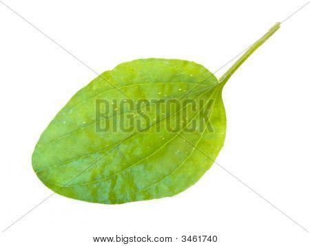 Ribwort Leaf