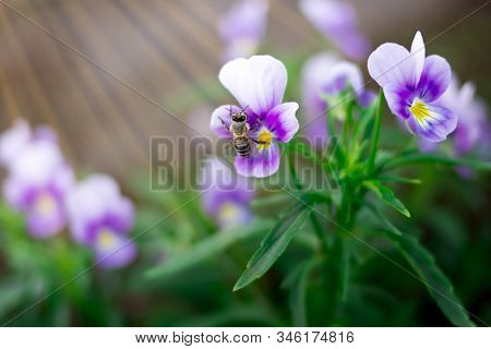 Little Wasp Collects Pollen And Nectar From Beautiful Violet Purple Pansy Flowers In The Garden. Clo