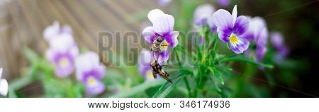 Two Small Wasps Collect Pollen And Nectar From Beautiful Violet Purple Pansy Flowers In The Garden.