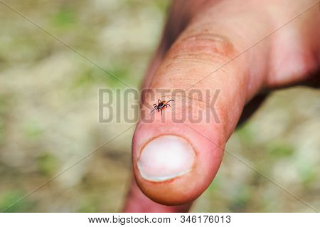 Hard Mite, Scale Tick Of Family Ixodidae On Human Finger. It Carrier Of Pathogens That Can Cause Hum