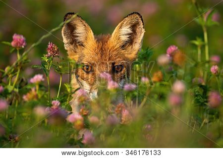 Close-up Of A Shy Red Fox Hiding Behind Grass And Flowers At Sunrise.