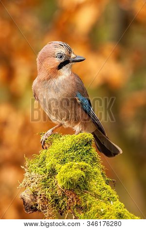 Vertical Composition Of Eurasian Jay Sitting On Moss Covered Trunk In Forest
