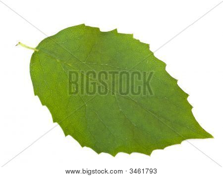 Leaf Against White Background