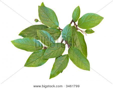 Green Branchlet