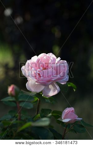 Beautiful Pink Rose, Photographed In The Garden.