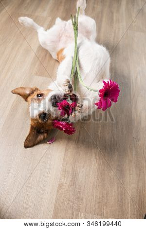 Dog With A Flower. Valentine's Day. Funny Jack Russell Terrier. Pet At Home Plays