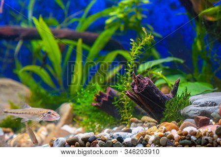 Green Plants, Snags And Minnows In A Home Decorative Aquarium. Soft Focus