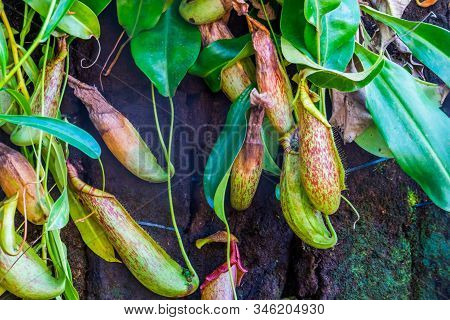 Cups Of A Pitcher Plant With Leaves In Closeup, Nephenthes Specie, Tropical Carnivorous Plants