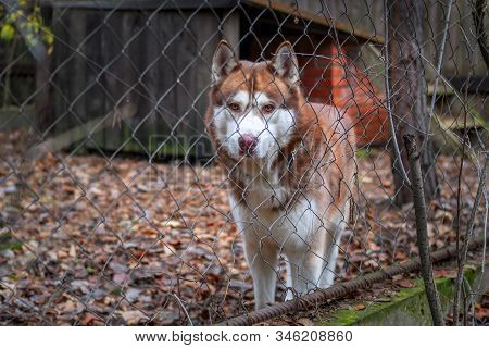 Redhead Siberian Husky Dog In Cage With Chain Link Fence. Dog Looks Through The Chain Link Fence At