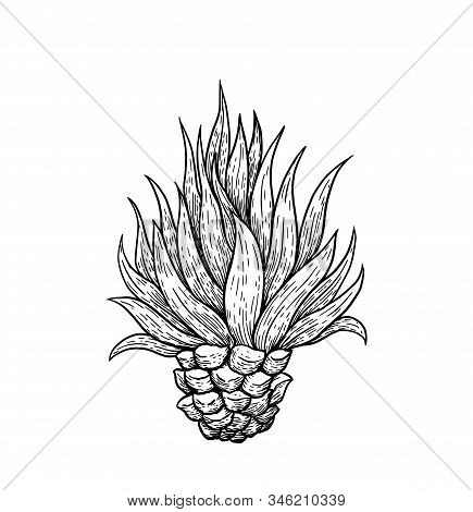 Hand Drawn Blue Agave, Main Tequila Ingredient, Sketch Style Vector Illustration Isolated On White B