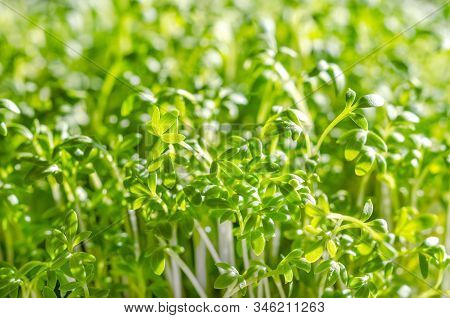 Garden Cress Sprouts Growing In Sunlight. Front View Of Cress, Also Pepperwort Or Peppergrass. Lepid