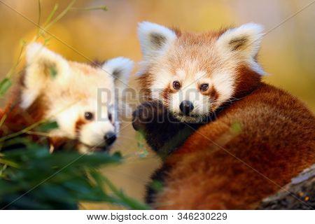 The Red Panda (ailurus Fulgens), Firefox Or Lesser Panda, The Red Bear-cat, And The Red Cat-bear, Po