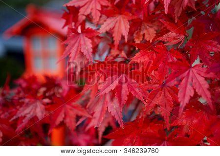 Red Leaves (momiji) Of Acer Palmatum (red Emperor Maple, Palmate Maple, Japanese Maple) In Edo Wonde
