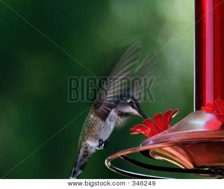 Reaching Hummingbird