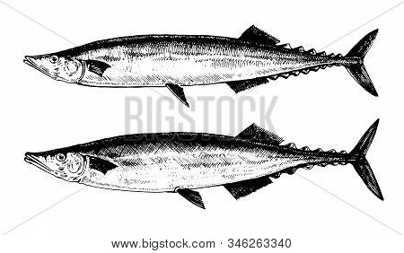 Saury, Fish Collection. Healthy Lifestyle, Delicious Food. Hand-drawn Images, Black And White Graphi