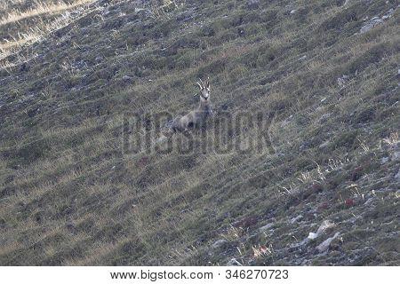 Chamois, Rupicapra Rupicapra, On Alpine Grasslands
