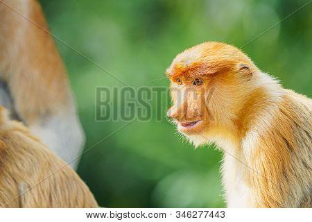Close Up Of Proboscis Monkey (nasalis Larvatus) Endemic Of Borneo On Blur Green Background