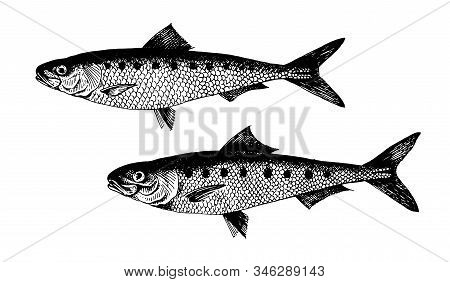 Sardine, Pilchard, Fish Collection. Healthy Lifestyle, Delicious Food. Hand-drawn Images, Black And