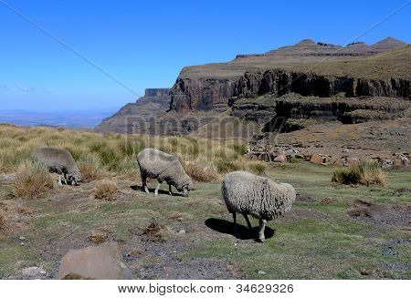 Mohair sheep in Lesotho, Africa