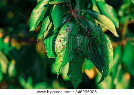 Close-up Green Leaf Of Sweet Cherry With Damage By Ulcers Of Diseases And Fungi Of Brown Spotting Of