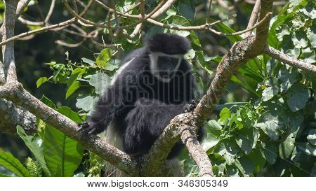 A Black And White Colobus Monkey Lin A Tree Looking At The Camera