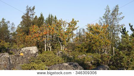 Colorful Trees Among Some Rocks, Boulders. Junipers And Rowan In Majority.