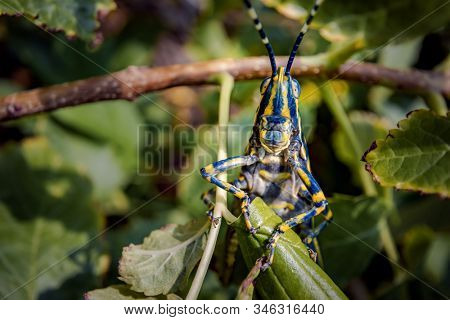 Aularches miliaris is a monotypic grasshopper species of the genus Aularches. Insect has been called by a variety of names including coffee locust, ghost grasshopper, northern spotted grasshopper.