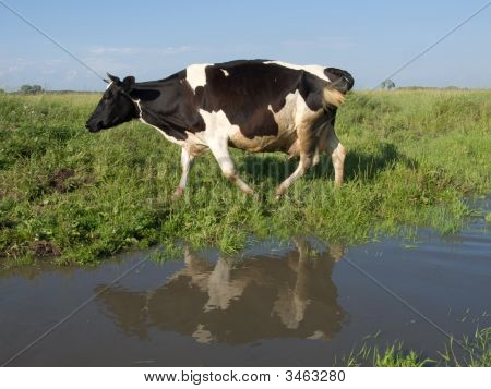 The black and white cow on a summer meadow poster