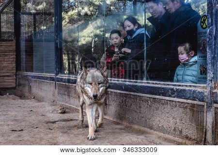Beijing, China - February 7, 2019: Tourists Looks At Mongolian Wolf In Beijing Zoo, One Of The Oldes