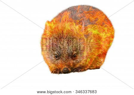 Composition About Wombat Wildlife In The Australian Bushfires In 2020. A Wombat With Fire Isolated O