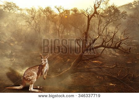 Composition About Australian Wildlife In Bushfires Of Australia In 2020. Kangaroo With Fire On Backg