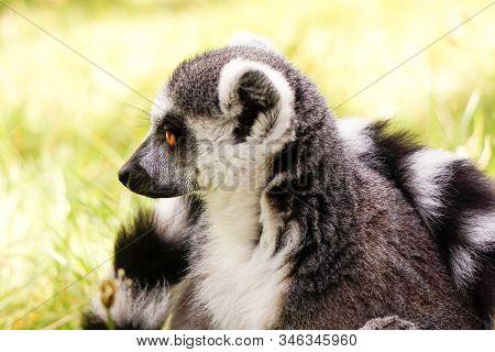 Animal Portrait Of A Lemur, Ring-tailed Lemur (lemur Catta).