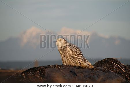 Spooked Snowy Owl