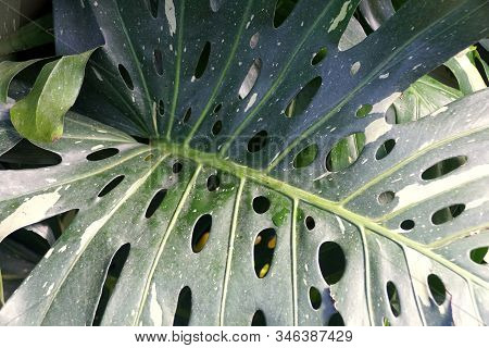 Unique Green Leaves Of Swiss Cheese 'variegata' Tropical Plant
