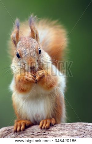 The Red Squirrel Or Eurasian Red Sguirrel (sciurus Vulgaris) Sitting In The Scandinavian Forest. Squ
