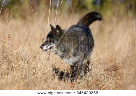 The Northwestern Wolf (canis Lupus Occidentalis) Standing On The Meadow. The Wolf (canis Lupus), Als