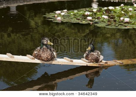 Two Ducks Taking A Sunbath