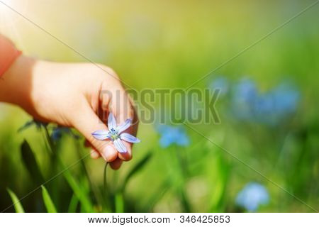 Child Picking A Scilla Flower On Beautiful Spring Day