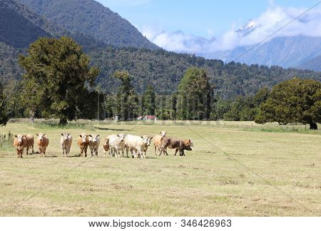 Cattle On The Meadow At The Westland National Park. New Zealand