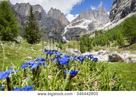 Gentiana Verna Mountain Flower On The Background Of The Marmolada Massif. Dolomites.