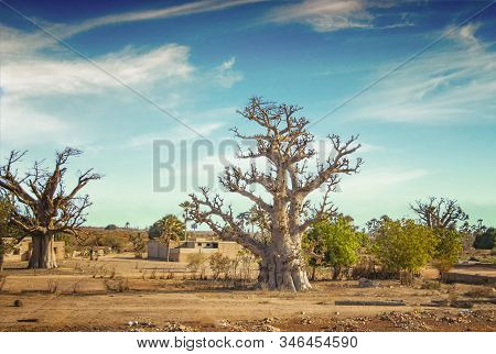 African Savanna With Typical Baobab Tree In Senegal, Africa. Its Near Dakar. In The Background Is A