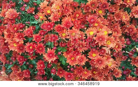 Chrysanthemums Blossom Season. Beautiful Wallpaper Of Red Chrysanthemum Flowers. Nature Autumn Flora