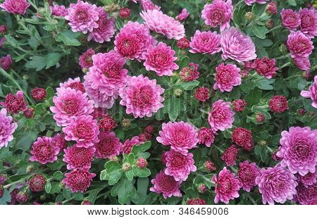 Beautiful Background Of Pink Chrysanthemum Flowers. Nature Autumn Floral Background. Chrysanthemums