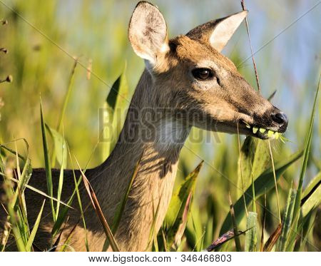 Young Buck Deer At The Arthur R Marshalll Wildlife Refuge In Florida