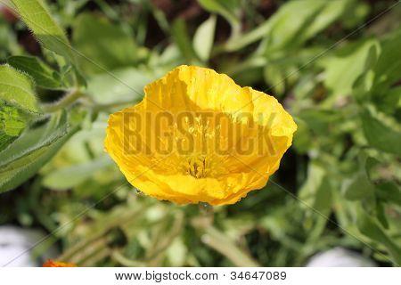 Sunny Poppy
