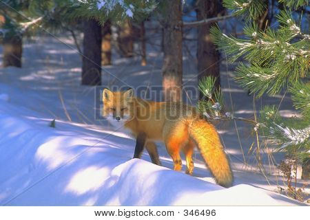 Red Fox In Golden Light