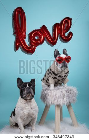 Couple Of French Bulldog Dogs In Love For Happy Valentines Day With Inflatable Red Balloon Backgroun