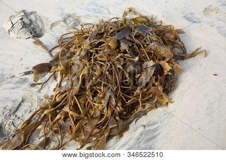 Seaweed. Seaweed laying on the beach. Kelp and Seaweed washed upon the shore in Huntington Beach California.