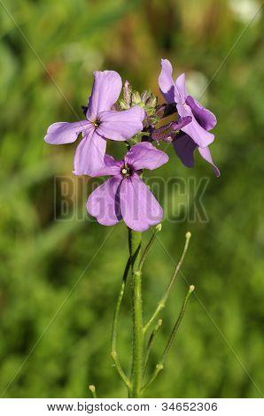 Dame's Violet flower